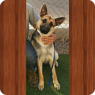 German Shepherd Dog Dog for adoption in SCOTTSDALE, Arizona - ZELDA