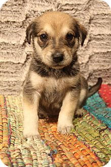 Husky/German Shepherd Dog Mix Puppy for adoption in Southington, Connecticut - Cassia