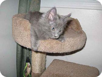 Domestic Mediumhair Kitten for adoption in Parkville, Missouri - Pamela