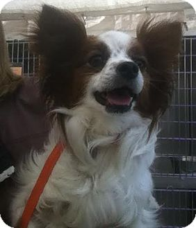 Papillon Dog for adoption in Westminster, California - Fleetwood