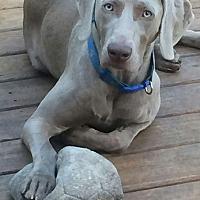 Adopt A Pet :: Thor - Grand Haven, MI