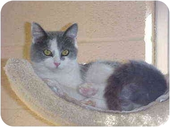 Domestic Shorthair Cat for adoption in Burnsville, North Carolina - GrayGirl