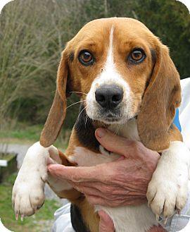 Beagle Mix Dog for adoption in Richmond, Virginia - Pete