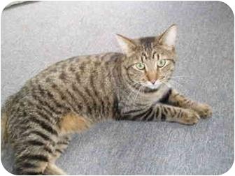 Domestic Shorthair Cat for adoption in Hamburg, New York - Mosey