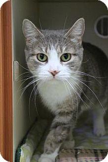 Domestic Shorthair Cat for adoption in Gloucester, Massachusetts - Anita