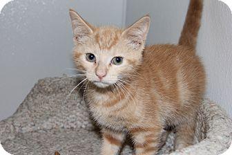 Domestic Shorthair Kitten for adoption in Greensboro, North Carolina - Cosmic