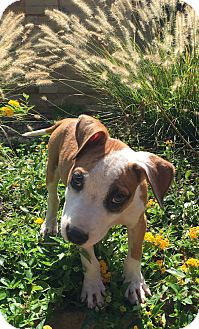 Boxer/American Bulldog Mix Puppy for adoption in PARSIPPANY, New Jersey - BOWZER