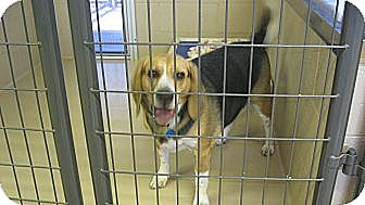 Beagle Dog for adoption in Yreka, California - Peppe