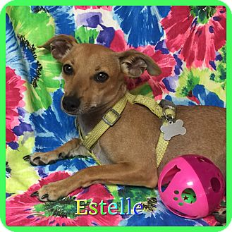 Chihuahua/Miniature Pinscher Mix Dog for adoption in Hollywood, Florida - Estelle