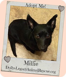 Dachshund/Rat Terrier Mix Dog for adoption in Lincoln, Nebraska - MILLIE