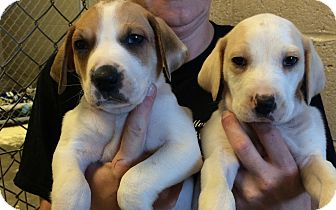 Hound (Unknown Type) Mix Puppy for adoption in Greensburg, Pennsylvania - Thor