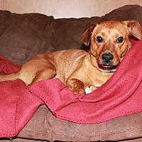 Dachshund/Corgi Mix Dog for adoption in Breaux Bridge, Louisiana - Bella Harper
