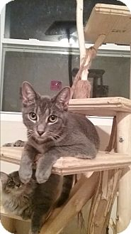 Domestic Shorthair Kitten for adoption in Cedar Springs, Michigan - Clee