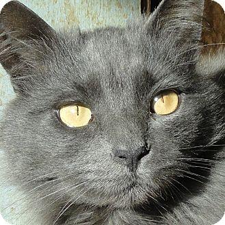 Domestic Longhair Cat for adoption in St. Johnsville, New York - Violet