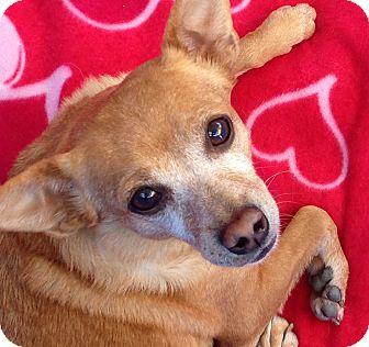 Chihuahua/Dachshund Mix Dog for adoption in San Diego, California - Junebug