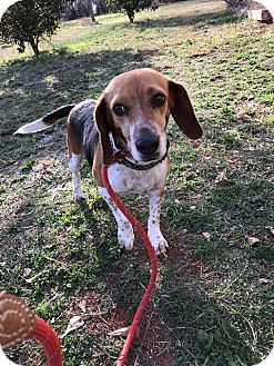Beagle Mix Dog for adoption in Newtown, Connecticut - Charli