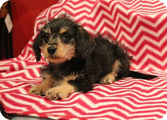 Terrier (Unknown Type, Small)/Poodle (Miniature) Mix Puppy for adoption in Los Angeles, California - Harmony