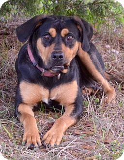 Labrador Retriever/Rottweiler Mix Dog for adoption in Brattleboro, Vermont - Molly~Adopted