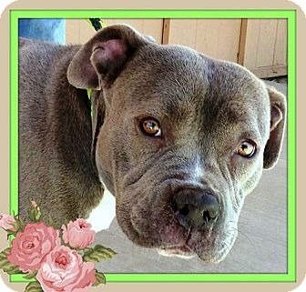 American Pit Bull Terrier Mix Dog for adoption in Las Vegas, Nevada - Milly