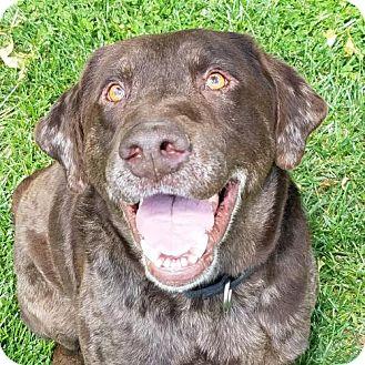 Labrador Retriever Mix Dog for adoption in Mt. Vernon, Indiana - Devereaux