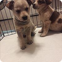 Adopt A Pet :: Hedgehog - Hainesville, IL