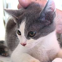 Domestic Shorthair Cat for adoption in Waynesville, North Carolina - JC and Ash (Barn Kittens)