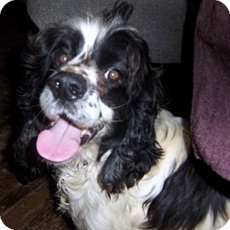 Cocker Spaniel Dog for adoption in Anderson, South Carolina - Bert