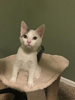 Domestic Shorthair Kitten for adoption in Williamston, Michigan - Ax Litter - Ardbeg ('Ardie')