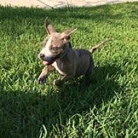 Adopt A Pet :: HARVEY - Houston, TX