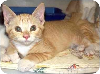 Domestic Shorthair Kitten for adoption in Howes Cave, New York - Kaboodle - On Hold