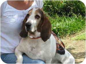 Basset Hound Dog for adoption in Folsom, Louisiana - Alexis