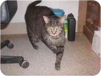 Domestic Shorthair Cat for adoption in Liberty, South Carolina - DIEGO
