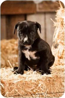 Labrador Retriever Mix Puppy for adoption in Portland, Oregon - Jones