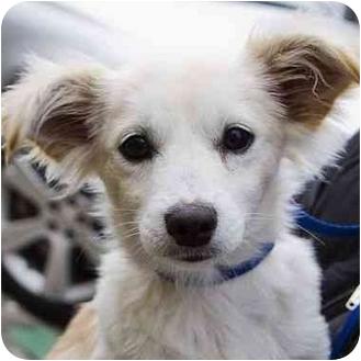 Cocker Spaniel/Chihuahua Mix Puppy for adoption in Berkeley, California - Atticus