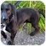 Photo 2 - Labrador Retriever/Basset Hound Mix Dog for adoption in Portland, Oregon - Low Ridin' Ramone