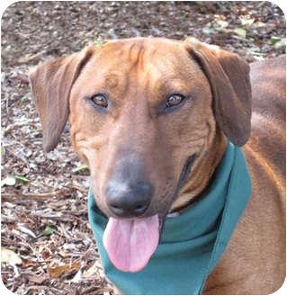 Dachshund/Bull Terrier Mix Dog for adoption in San Diego, California - Marty