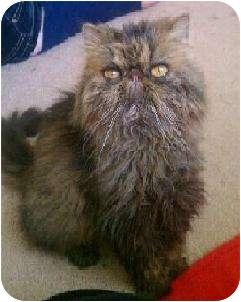 Persian Cat for adoption in Palm desert, California - ChiChi