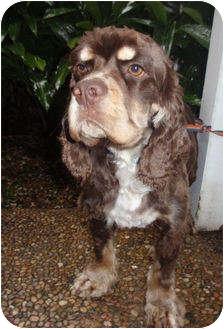 Cocker Spaniel Dog for adoption in Sugarland, Texas - Teddy