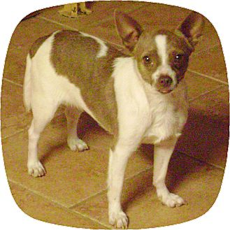 Chihuahua Dog for adoption in Owingsville, Kentucky - Risa