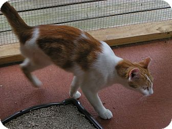 Domestic Shorthair Cat for adoption in Monroe, Georgia - Mikie