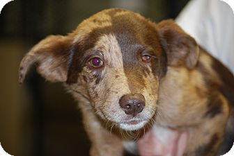 Catahoula Leopard Dog Mix Puppy for adoption in Hershey, Pennsylvania - Cobra