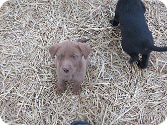 Labrador Retriever Mix Puppy for adoption in Naugatuck, Connecticut - Lab Mix puppies