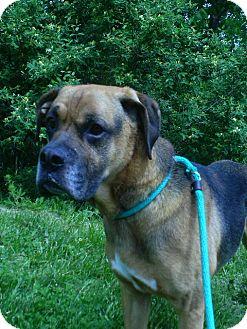 Mastiff/Boxer Mix Dog for adoption in Staunton, Virginia - Jaxx