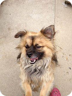 Tibetan Spaniel/Pekingese Mix Dog for adoption in SO CALIF, California - Bosley