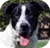 Border Collie/Labrador Retriever Mix Dog for adoption in Portola, California - Freckles