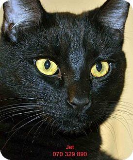 Domestic Shorthair Cat for adoption in Diamond Springs, California - Jet