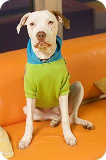 Hound (Unknown Type)/Pit Bull Terrier Mix Dog for adoption in West Allis, Wisconsin - Wonderful Wyatt
