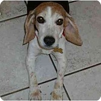 Adopt A Pet :: Roxie Sue - Phoenix, AZ