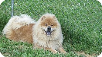 Chow Chow Mix Dog for adoption in Staunton, Virginia - Hillary