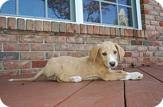 Basset Hound Mix Puppy for adoption in Hainesville, Illinois - McKinley
